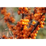 Fresh Frozen Wild Sea Buckthorn Berries